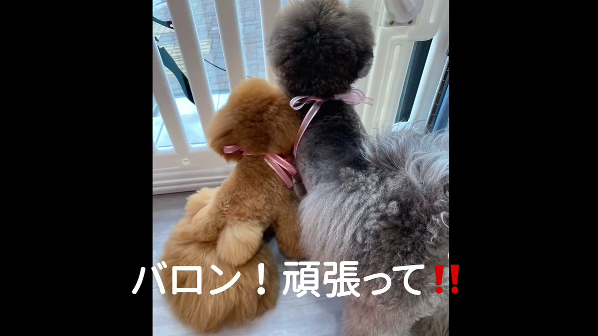 test ツイッターメディア - おやつは名古屋ふらんすのガトー・ロンのキャラメルショコ🍫  今日は昌磨くんの新しい家族、バロンくんのデビュー戦🐶🐾  ……犬のデビュー戦って、どんなことするんだろ?🤔 https://t.co/TvIiaH90wS