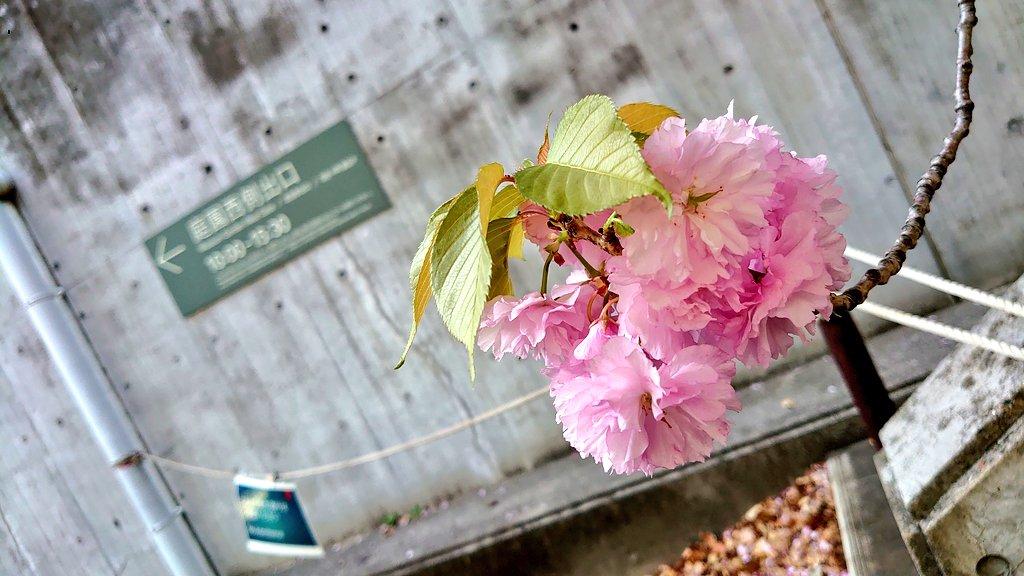 test ツイッターメディア - 来週から鳥獣戯画展だし桜もほぼ散ったし、もしかして今空いてるのでは?!とピンときてトーハクに行ってきたよ!空いてたわ!!! https://t.co/qfxiJCMnOb