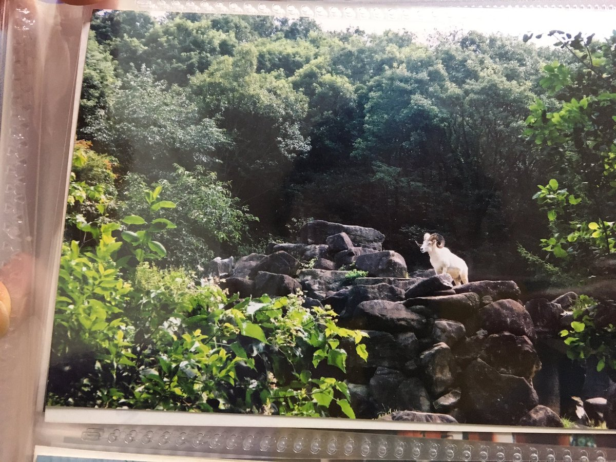 test ツイッターメディア - そして、これ。東山動植物園の写真。いたんですよ、ドールシープが。 https://t.co/stYLc4LMSa