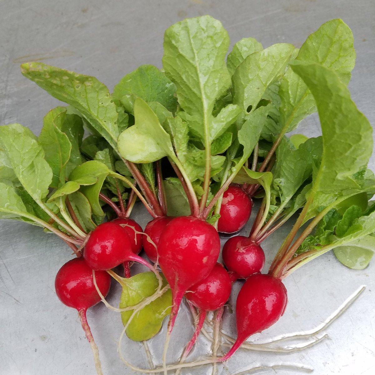 test ツイッターメディア - 土から出たラディッシュちゃんの赤い頭がかわいくてついつい早採りしてしまった〜😍  さっそく晩飯のサラダにして食べました。 うまい、自分で育てたとなると尚更旨し(笑)  農業、化学肥料は使っていません😀 近いうちに道の駅弥生で販売しよう🎶 https://t.co/vvmOhIxLZ6