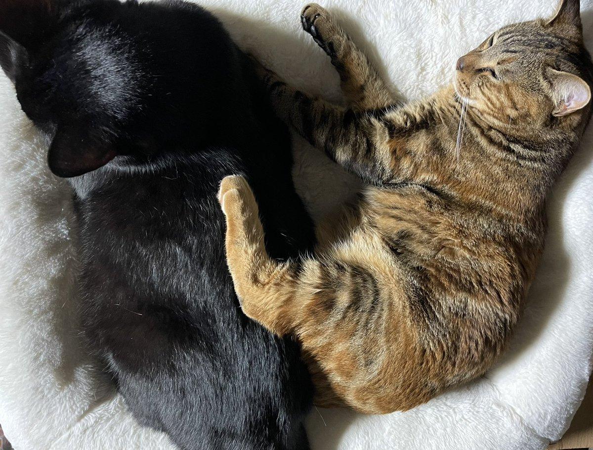 test ツイッターメディア - こんばんは🌙  仕事から帰ったら 仲良くねんね ごまくん 、うりちゃん  たまちゃん近すぎ~👀✨  スーパーで見かけた 水戸の梅 ☕️ おいしい〜😋   #お疲れ様でした   #猫のいる暮らし https://t.co/Q8nbOS5oPw