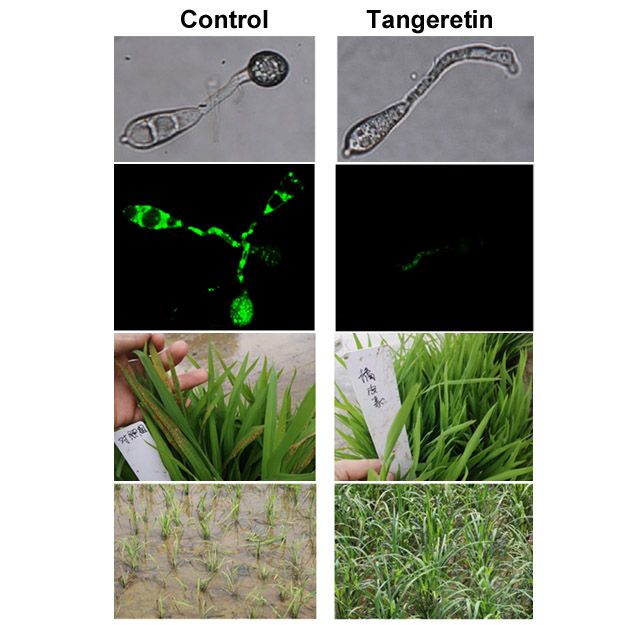 test Twitter Media - 🍋🍊#Citrus to the rescue!🍊🍋 Tangeretin, an antioxidant commonly found in citrus peels, is a powerful #antifungal and a potentially valuable tool in the fight against #rice blast disease. #PlantSci #PlantPath #CropSci #JIPB https://t.co/nZ2fCj4Tfa @wileyplantsci https://t.co/3v9cujemSZ