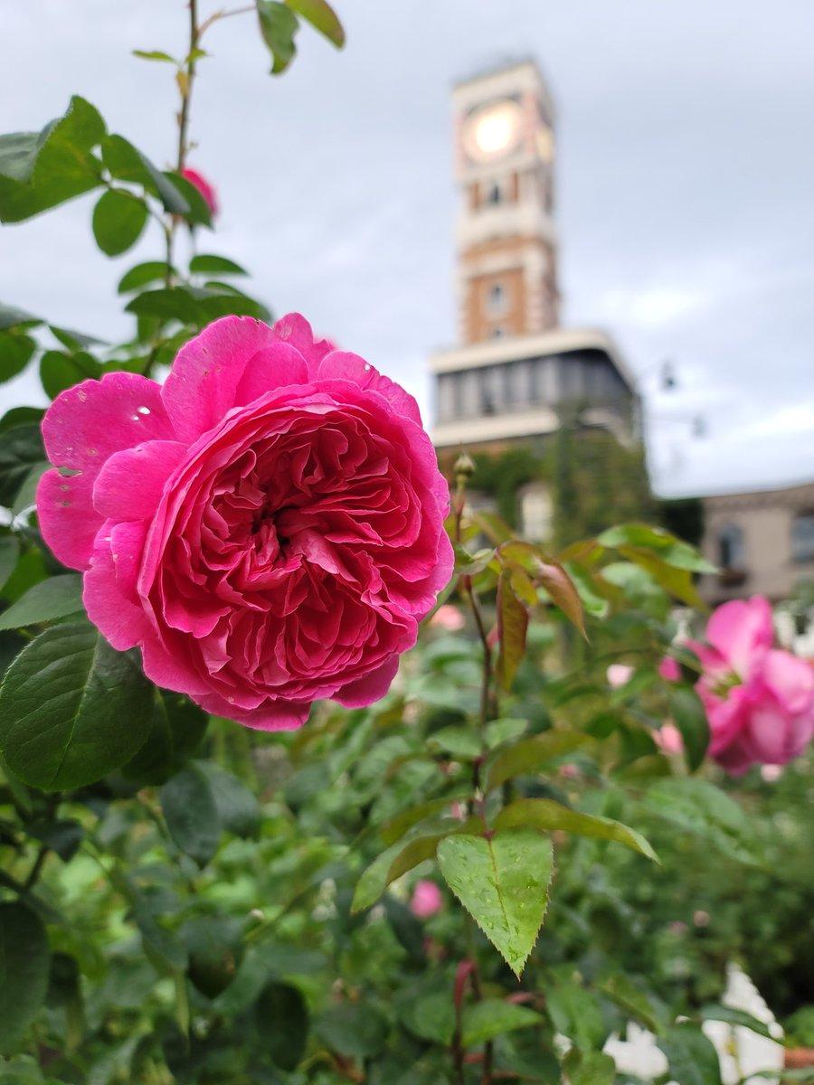test ツイッターメディア - おはようございます🌹  白い恋人パーク チョコレートファクトリーの中庭の秋薔薇はそろそろ終わり 今日も寒い朝ですね~!  みなさま、本日も健やかな一日を。  け様より https://t.co/Z4twgJwR9Y