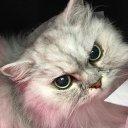 【虹の橋を渡りました】猫・チンチラのよもぎちゃん(B型)