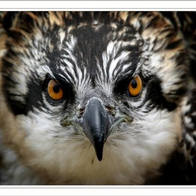 Aberfoyle Ospreys   Social Profile