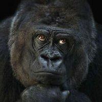 @tiktok_gorilla