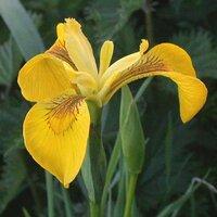 Iris00010
