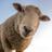 Nunes' Sheep