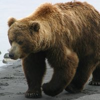 ursus arctos | Social Profile