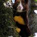 Matschie tree kangaroo ga bigger