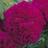 warks_rose profile
