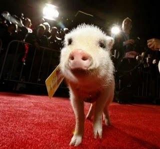 Paparazzi Pigs © Social Profile