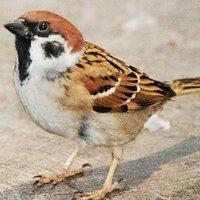 小鳥遊すずめ | Social Profile