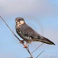 aumer-falcon | Social Profile