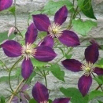 紫苑 | Social Profile