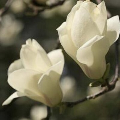 magnolia/まぐのりあ   Social Profile