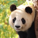 panda_tomono