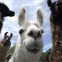 Llama | Social Profile