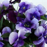 一色 紫音 | Social Profile