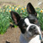 A_BostonTerrier
