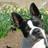 A_BostonTerrier profile
