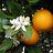 250px orangebloss wb normal