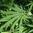 quippdMarijuana profile