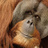 @OrangutanApp