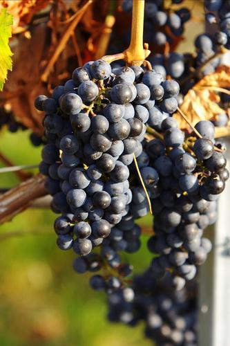 Czech wines