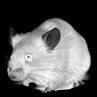Vítek Myš