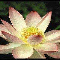 Lotus Halo | Social Profile