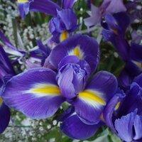 irisveronique