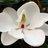 MagnoliaArea profile