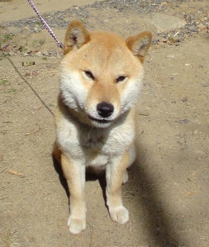 ミノやん?(柴犬ペス) Social Profile