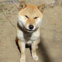 ミノやん?(柴犬ペス) | Social Profile