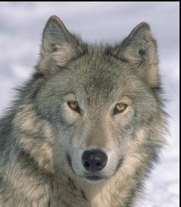 wolf_grey