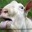 mallet goat