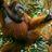 @Orangutanpals