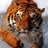 A tiger normal