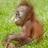 @orangutanappeal