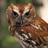 Screech Owl - LBL