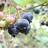 Mainiti_B_berry