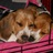 beaglesrock17 profile