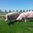 Moderne biologische varkenshouderij, vleespakketten op bestelling. Streekeigen erfbeplanting. VANL  De Capreton, plattelandstoerisme. KV De Maaskanters