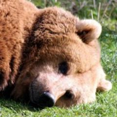 Medvěd z lesa