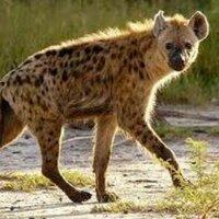 @hyenas