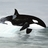 rockicinus_orca profile