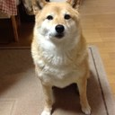 柴犬のニコ (@0205nico0205) Twitter