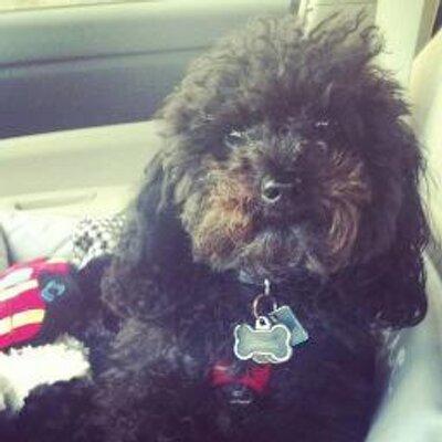 Ralph the poodle | Social Profile