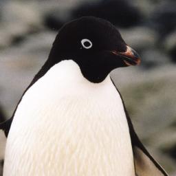 アデリーペンギンの画像 p1_7